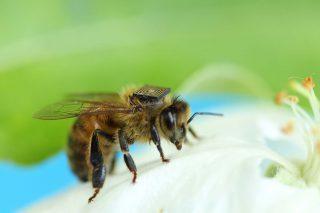 http://www.allergymedik.com/wp-content/uploads/2015/11/honey-bees--320x213.jpg